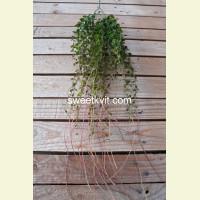 Искусственный самшит лиана, 95 см